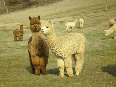 动物园羊驼口水图片