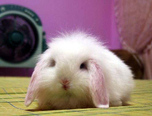 垂耳兔有两只大大的耳朵,萌样子实在让人忍不住想要马上把它抱回家饲